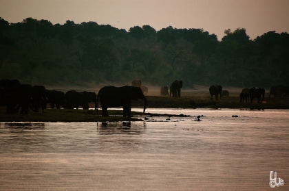 Elephant hurt drinking at waterside in Chobe NP