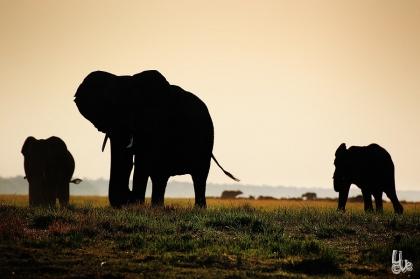 Elephants before sunset at chobe NP
