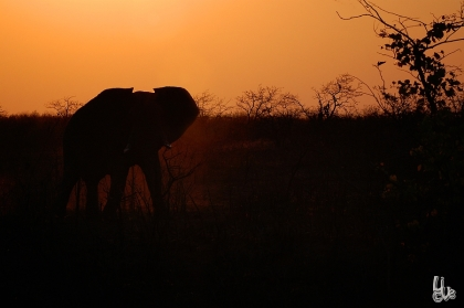 Elephant mog charging , seen at a night drive in Kruger NP
